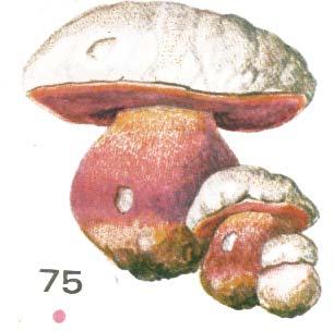 Сатанинский гриб иллюстрированный